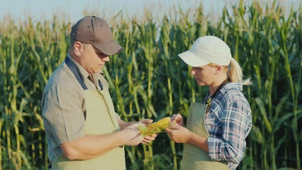 Thumbnail for Two Farmers Are Studying the Ear of Corn on the Field. Training and Agribusiness