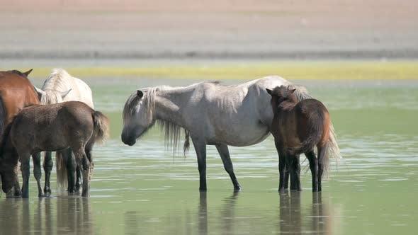 Free Herd of Wild Horses in Natural Lake Water