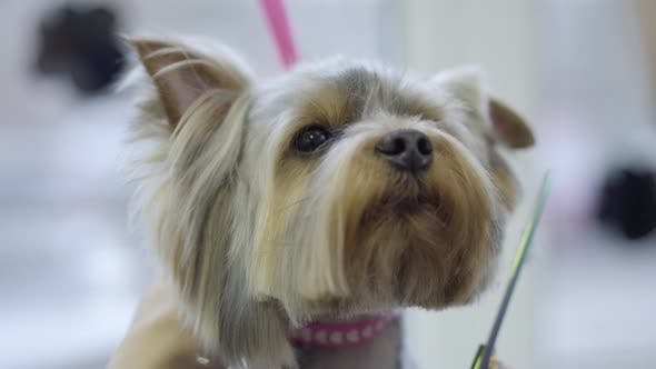 Thumbnail for The Woman Hand Grooming Obedient Doggy. Cute Small Yorkshire Terrier Getting His Hair Cut
