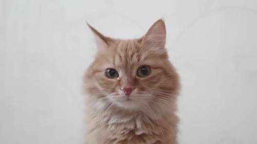 Cute Ginger Cat Looks Attentively in Camera. Fluffy Pet on White Background.