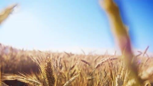 Nahaufnahme des goldenen Weizenfeldes gegen die Kamera des blauen Himmels