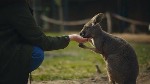 Woman feeding little eastern grey kangaroo, slow motion, BMPCC 4K