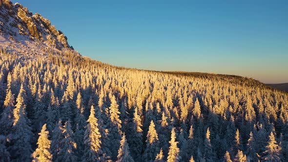 Thumbnail for Coniferous Forest Covered with Snow