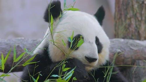 Giant Panda Ailuropoda Melanoleuca Also Known As the Panda Bear or Simply the Panda