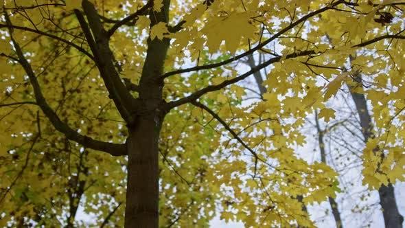 Magnifiques feuilles d'automne sur l'érable à l'extérieur