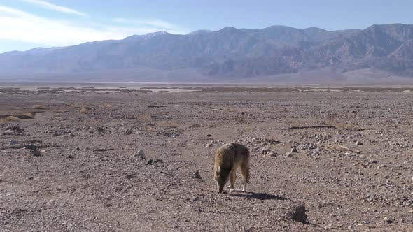 Thumbnail for Coyote Adult Lone Eating Feeding in Death Valley National Park California