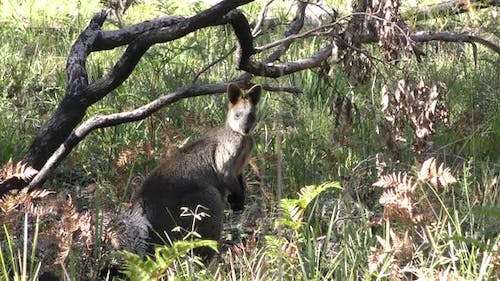 Swamp Wallaby Adult Lone Alarmed Nervous Wary Burnt Fire Scarred Succession Recovery