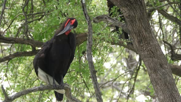 Thumbnail for Southern ground hornbill in a tree