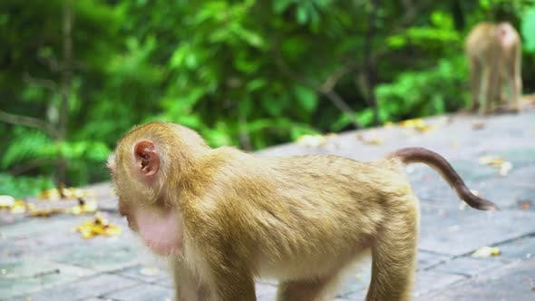 Thumbnail for the monkey plays in a national park with a rainforest. natural habitat of animals