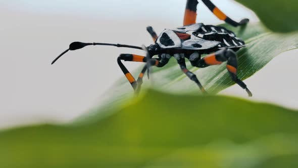 Thumbnail for A Black And Orange Bug Hemiptera On A Green Leaf Closeup
