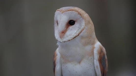 Barn Owl in Slow Motion