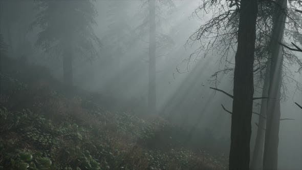 Coniferous Forest Backlit By the Fising Sun on a Misty