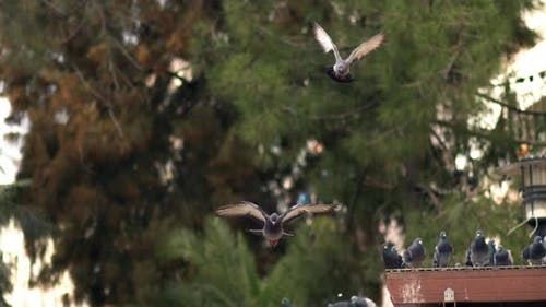City Pigeons Flying In The Park In Slow Motion  1
