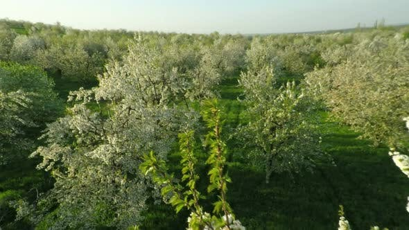 Thumbnail for View Of Blooming Cherry Garden 8