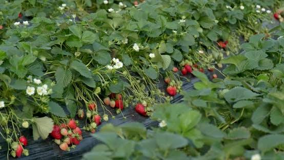 Thumbnail for Fresh Strawberry Farm