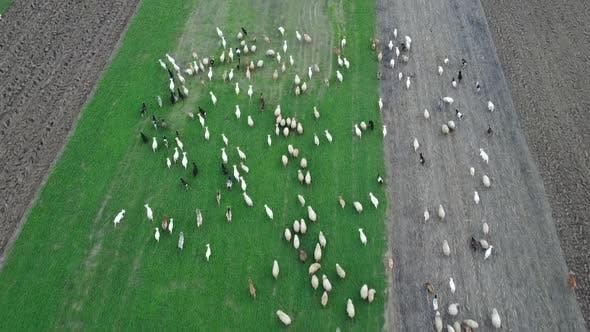 Thumbnail for Luftszene mit Schafen und Ziegen