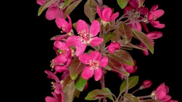 Blooming Ornamental Paradise Apple Tree Malus
