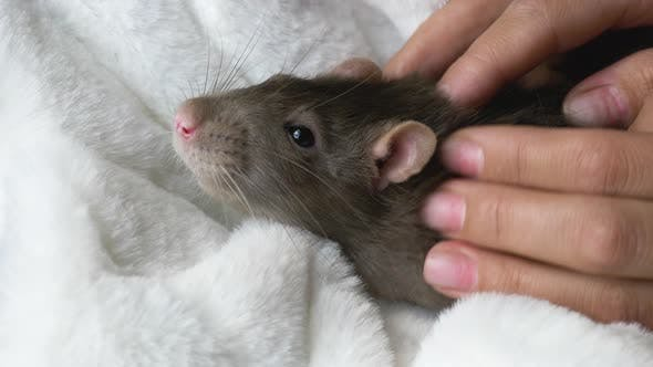 Thumbnail for Gray Rat in Female Hands