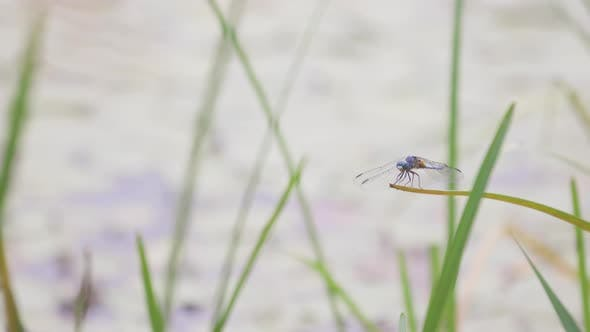 Cover Image for Dragonfly Lands On Blade Of Grass Then The Large Insect Flies Away