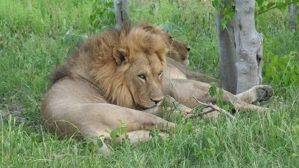 Cover Image for Two male lions resting under a tree