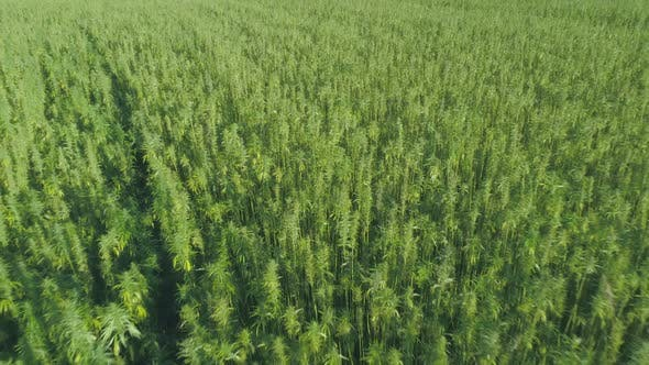 Thumbnail for Medical Cannabis Hemp CBD Growing in a Large Field