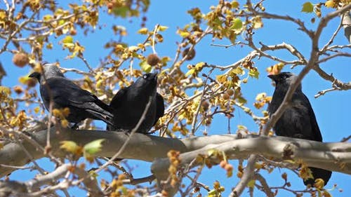 Western jackdaw (Coloeus monedula), perched on a platanus