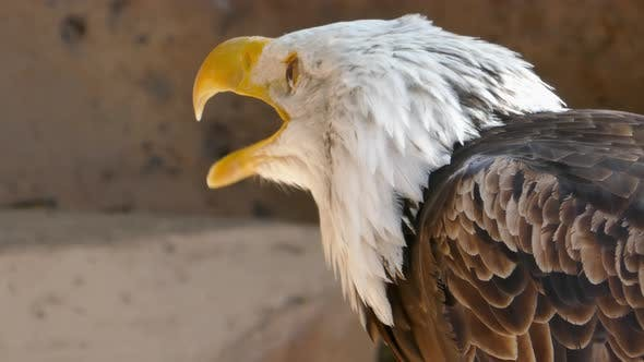 Bald Eagle Screaming Close-up