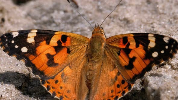 Beautiful Butterfly with Orange Wings Is Sitting in the Sand on the Beach