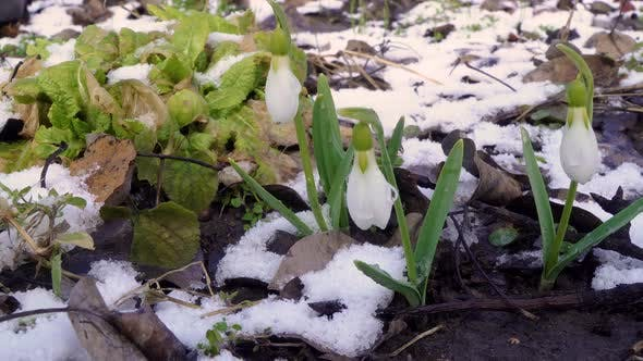 Beautiful Snowdrop Flower Bloom and Snow in Spring