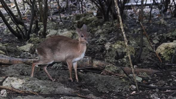 Forest Mini Antelope  Duker Royal Antelope Tiniest Antelope at Zoo Zanzibar