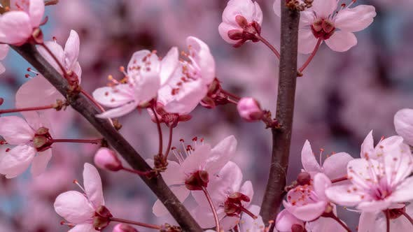 Thumbnail for Plum Fruit Flower Blossoming Timelapse