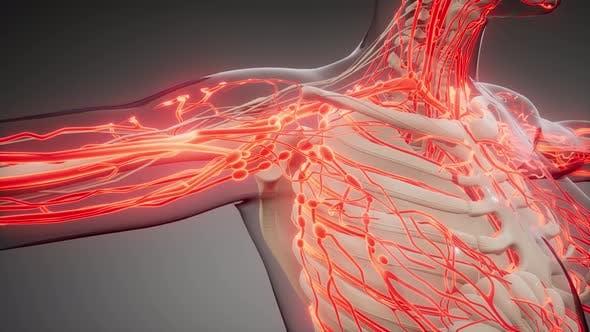 Кровеносные сосуды человеческого тела