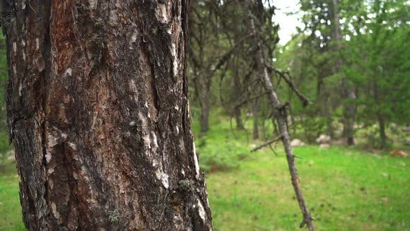 Thumbnail for Pine Tree Trunk in Forest