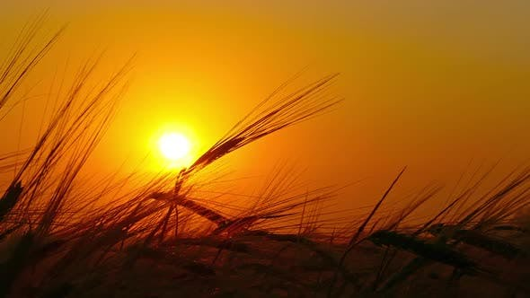 Thumbnail for Ears of Ripe Wheat Against Setting Sun