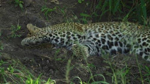 A lazy leopard