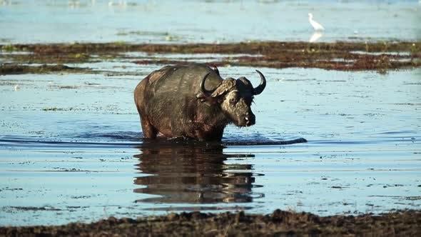 Thumbnail for African Buffalo In Botswana