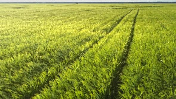 Thumbnail for Exciting Green Wheat Field with Car Wheels Traces Aerial