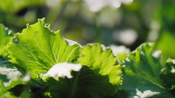 Thumbnail for Close up of lettuce's leaves