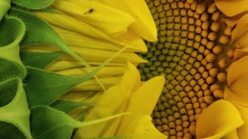 Sunflower Head Opening Timelapse