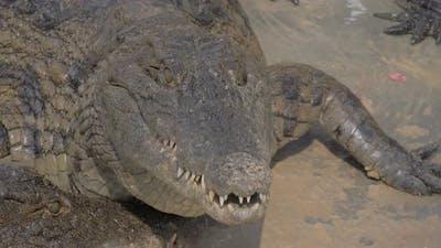 Hungry Crocodile Eating