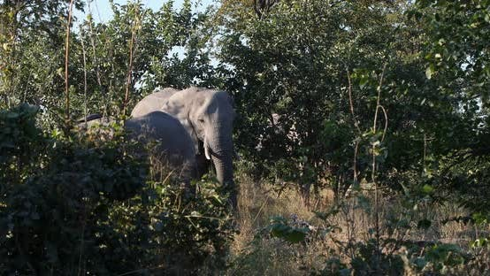 Thumbnail for African Elephant in Moremi, Botswana safari wildlife