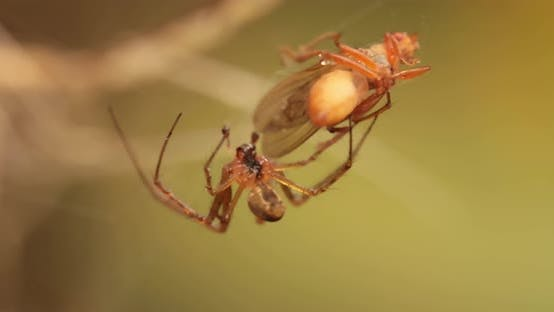 Thumbnail for Close Up Macro Shot of a Spider Grabbed the Victim and Wrapped It in a Web