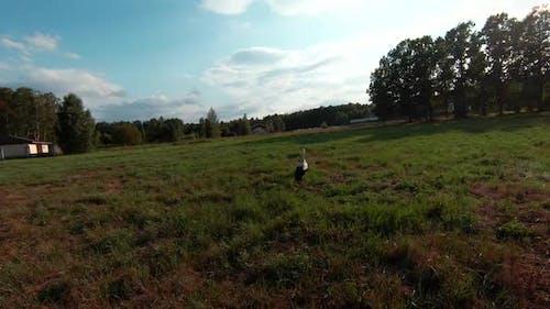 White Stork Standing In Green Summer Grass