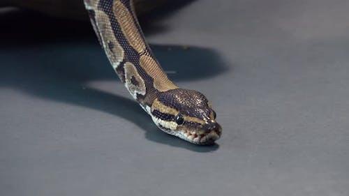 Royal Python or Python Regius at Black Background. Close Up