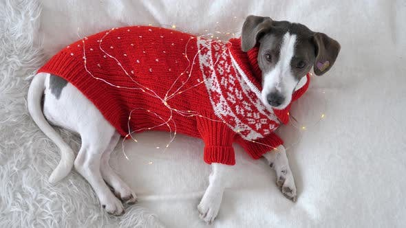 Top View of Lovely Retriever Puppy in Red Christmas Sweater on White Bed