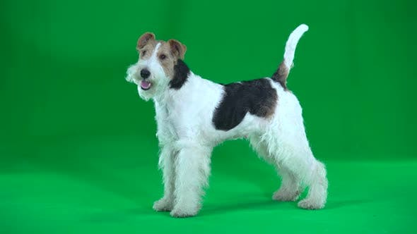 Fox Terrier Green Screen