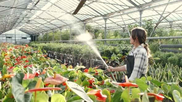 Frau Bewässerung Pflanzen bei Indoor Plantage