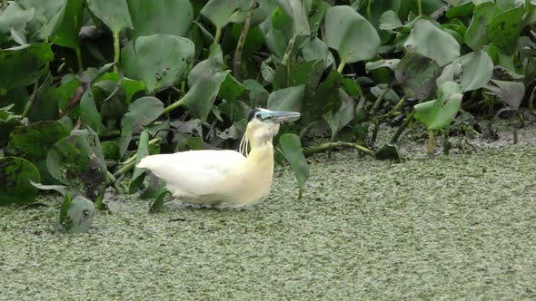 Capped Heron Adult Lone Predation Kill Capture Eating Swallowing