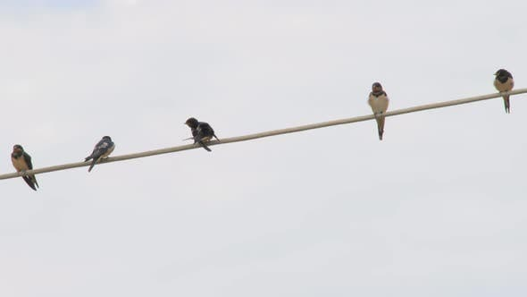 Cover Image for Birding Background. Birds on the Line. One Bird From the Flock Brushing Feathers. Swallows on the
