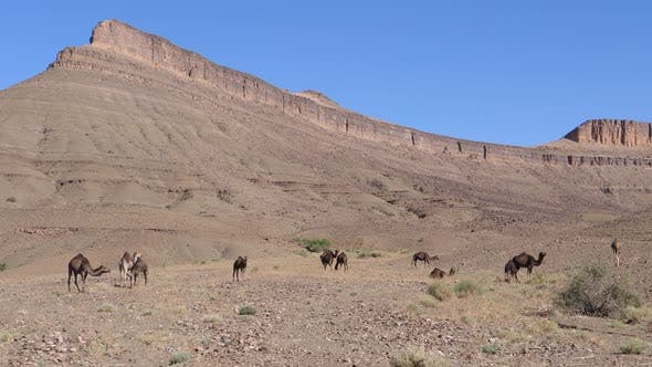 Thumbnail for Herd of dromedary camels in the sahara desert